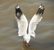 SEAGULL IN ACTION Royalty Free Stock Photography