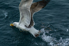 Seagull in action Stock Photography