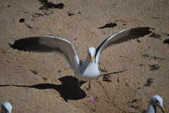 Seagull in action Royalty Free Stock Image