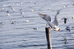 Seagull Action swoop down on pillar Royalty Free Stock Photo