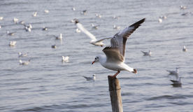 Seagull Action swoop down on pillar Stock Image