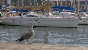 Seagull against the backdrop of boats and yachts in Rambla del Mar, Barcelona. Seagull against the backdrop of boats and yachts in Rambla del Mar. Seagull Sits stock video