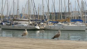 Seagull against the backdrop of boats and yachts in Rambla del Mar, Barcelona. Seagull against the backdrop of boats and yachts in Rambla del Mar. Seagull Sits stock video footage