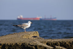Seagull against a background of cargo vessels. Seagull standing on the concrete against a background of two cargo vessels on the horizon Stock Photos