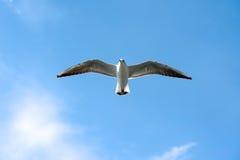 Seagull against the blue sky. Gull against the blue sky Stock Photos