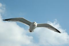 Seagull against blue sky. With clouds Royalty Free Stock Photos