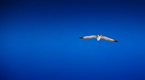 Seagull against the blue sky Royalty Free Stock Photos