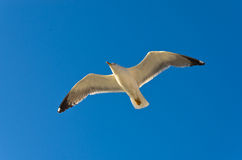 Seagull against blue sky background flying over Thassos island royalty free stock photo