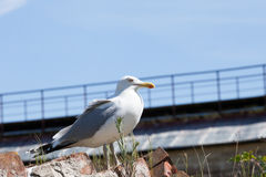Seagull against the blue sky Royalty Free Stock Images