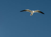 Seagull against blue sky Royalty Free Stock Photography