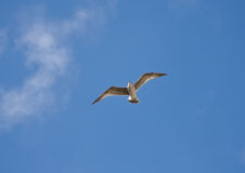 Seagull against blue sky Stock Images