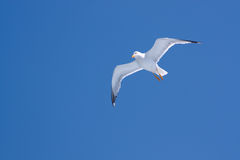 Seagull against the blue sky Royalty Free Stock Photography