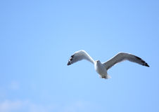 Seagull against blue sky Royalty Free Stock Photos