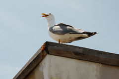 Seagull against clear blue sky Royalty Free Stock Photography