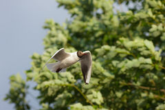 Seagull against foliage Stock Photos