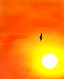 Seagull against a setting sun. As the blazing sun sets, a seagull rides the currents catching the last rays of heat Stock Images
