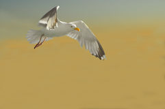 Seagull against a sunset Royalty Free Stock Photos