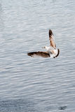 Seagull in the Air Stock Photography