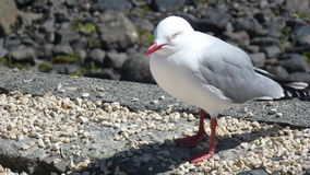 Seagull At Akaroa Royalty Free Stock Images