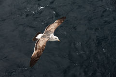 Seagull aloft over the ocean Royalty Free Stock Photography