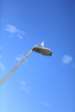 Seagull along. On light Pole stock photography
