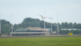 Seagull in Amsterdam airport. Seagull at runway. Rack focus. Airport of Amsterdam, Holland stock video footage