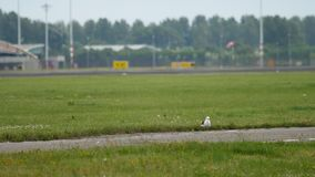 Seagull in Amsterdam airport. Seagull at runway. Rack focus. Airport of Amsterdam, Holland stock video