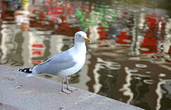 Seagull in Amsterdam, Netherlands Stock Image