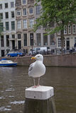 Seagull in Amsterdam Royalty Free Stock Image