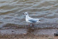 Seagull on the Amur river stock image