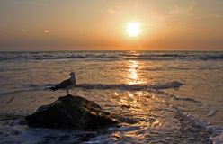 Seagull And Sunset Stock Photos