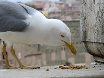 Seagull anhydrous Kunskap av naturen Till och med ögonen av naturen arkivbild