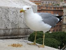 Seagull anhydrous Kunskap av naturen Till och med ögonen av naturen arkivfoto