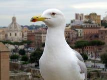 Seagull anhydrous Kunskap av naturen Till och med ögonen av naturen fotografering för bildbyråer