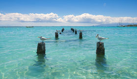 Seagull Anse De Święty Anne, Guadeloupe - Zdjęcia Stock