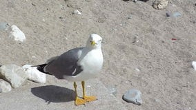 Seagull asking for food. Grey and white big seagull standing on a stone on the beach and asking for food stock video