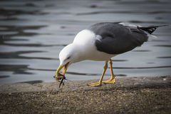 Seagull łasowania homar Obraz Royalty Free