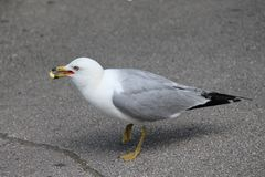 Seagull łasowania popkorn Fotografia Stock