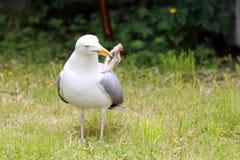 Seagull łasowanie Obraz Royalty Free