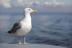 Seagull At Sea Royalty Free Stock Images