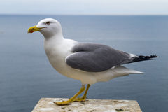 Free Seagull At Sea Royalty Free Stock Photo - 86699085