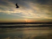 Seagull on Atlantic Ocean Beach during Dawn. Royalty Free Stock Photo