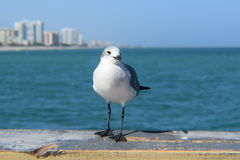 Seagull and the Atlantic Ocean Stock Image