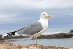 Seagull at the atlantic ocean Stock Photography