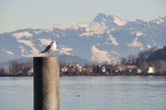 Seagull atop concrete mooring. Seagull stands atop a concrete mooring. Lake and snow covered mountains in background stock image