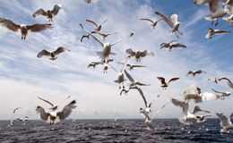 Seagull attack! Stock Photo