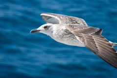A seagull attack. A seagull flight above the sea Royalty Free Stock Image