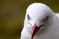 Seagull Australia Royalty Free Stock Photography