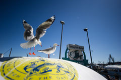 Seagull Australian Seafood Market Royalty Free Stock Images