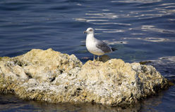 Seagull błękit morze Obrazy Royalty Free